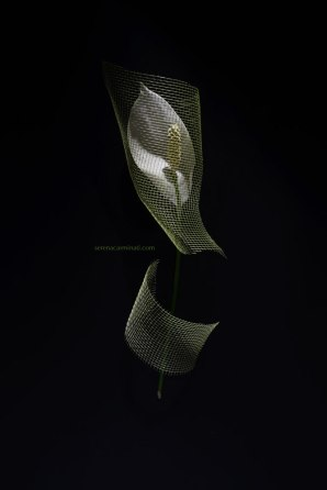Spathiphyllum-flower-with-net