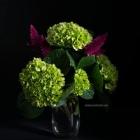 Fuchsia and Green this time! Hydrangea with Celosia Caracas.